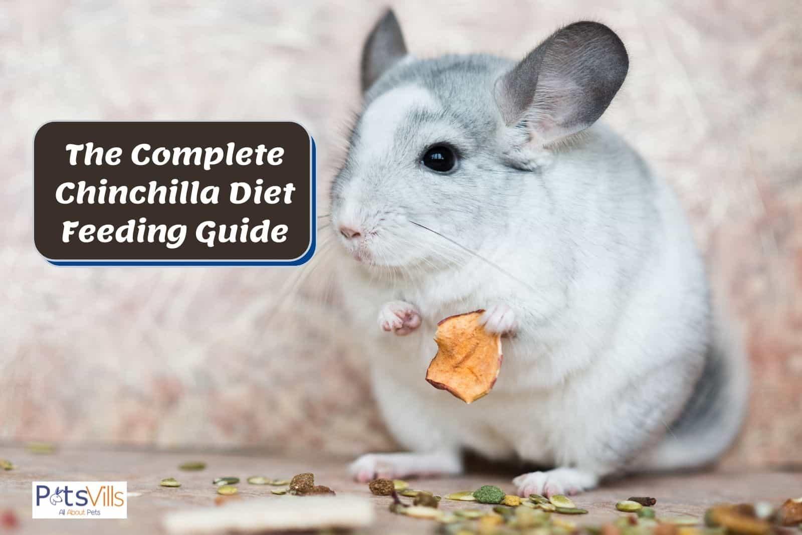 a chinchilla eating food, chinchilla diet feeding guide