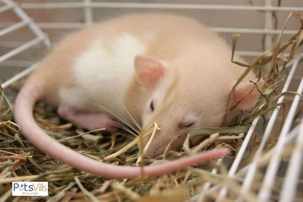 a rat sleeping in a wild at morning