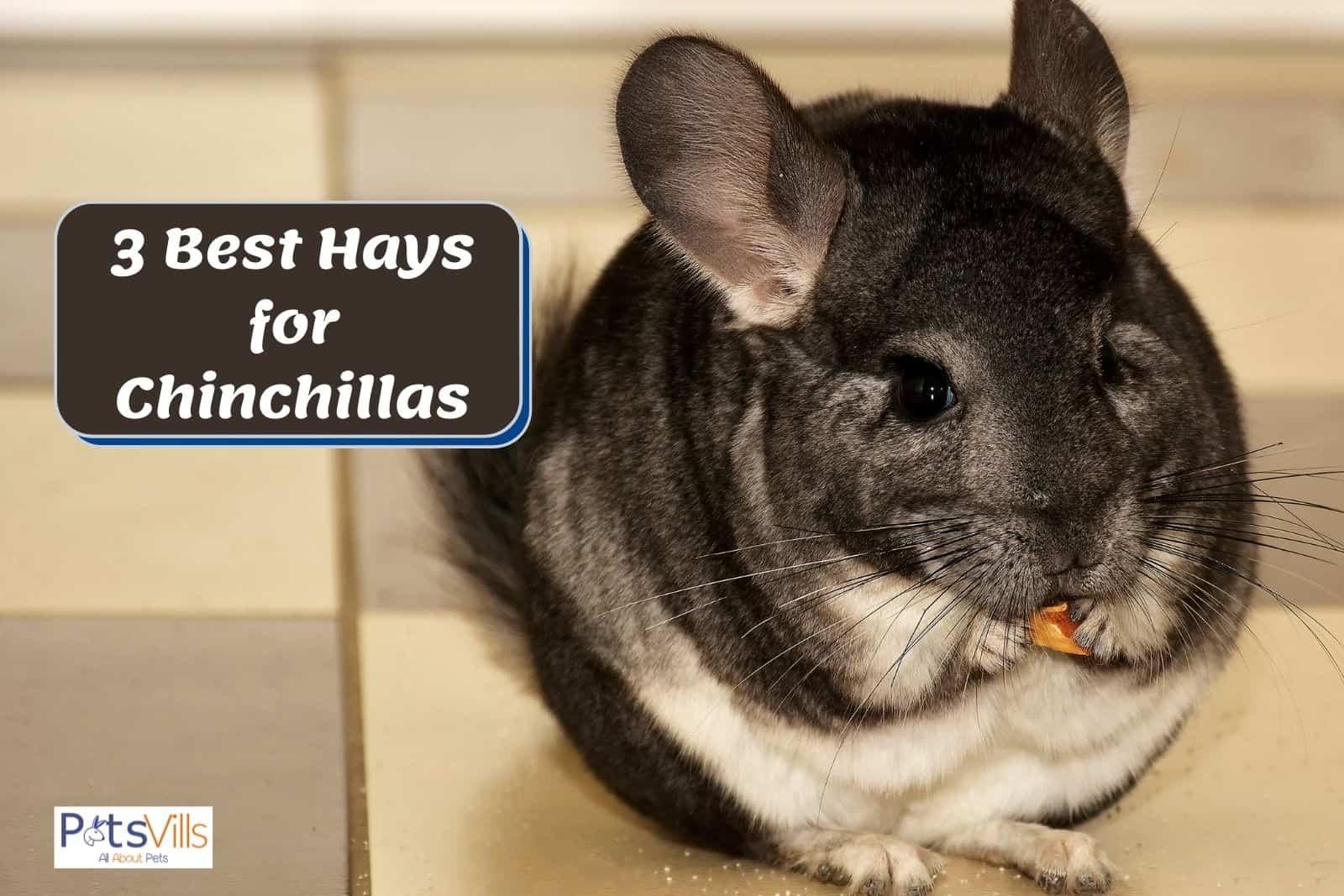chin eating the best chinchilla hay