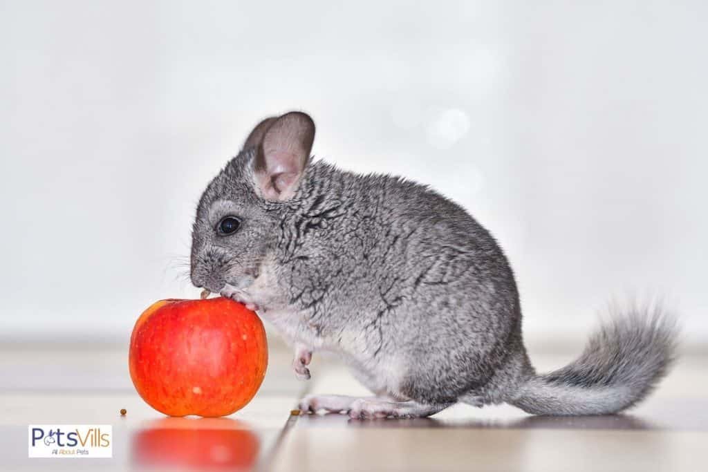 a chinchilla eating apple, how much to feed chinchilla