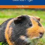brown and black fat guinea pig