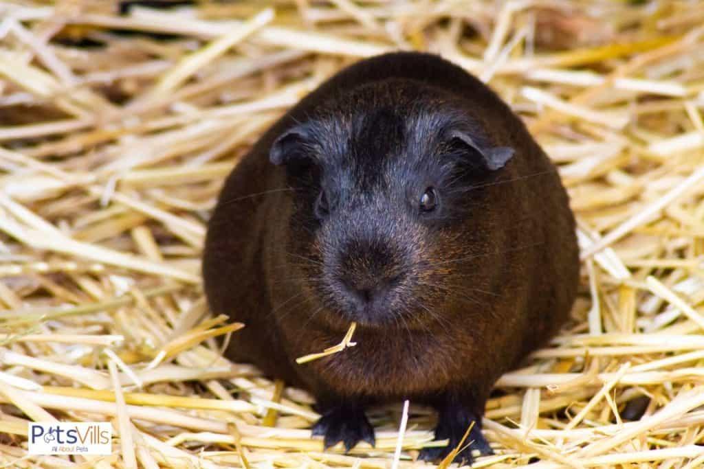 fat guinea pig eating hay