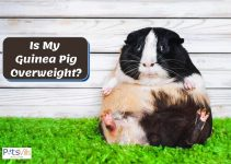 Guinea Pig's Obesity and How to Control Their Weight