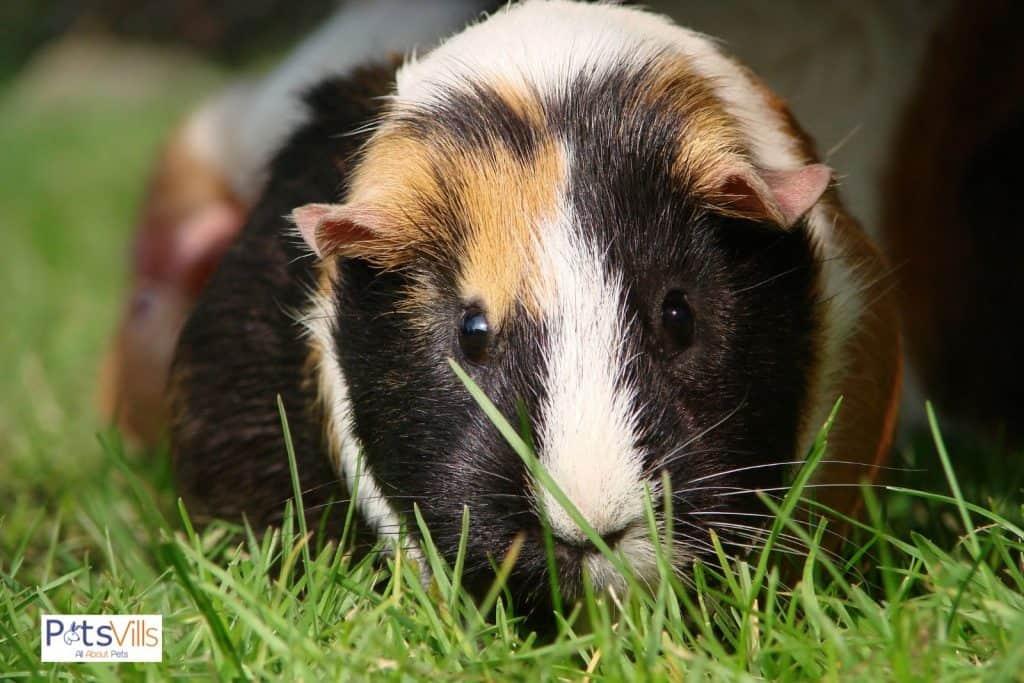 guinea pig eating grasses