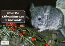 What Do Chinchillas Eat in the Wild? + Other Facts