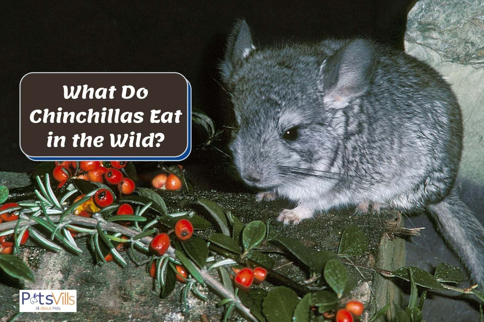chinchilla beside wild fruits but what do chinchillas eat in the wild?